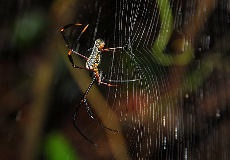 dec_27_2153_nephila_dance.jpg