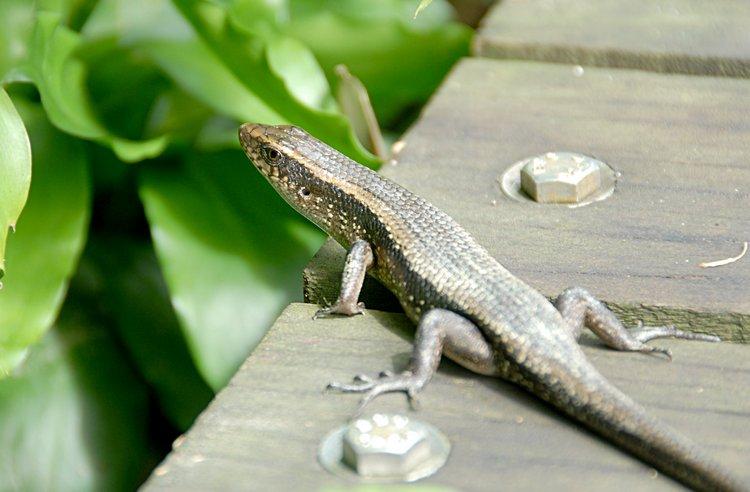 dec_29_2983_lizard.jpg