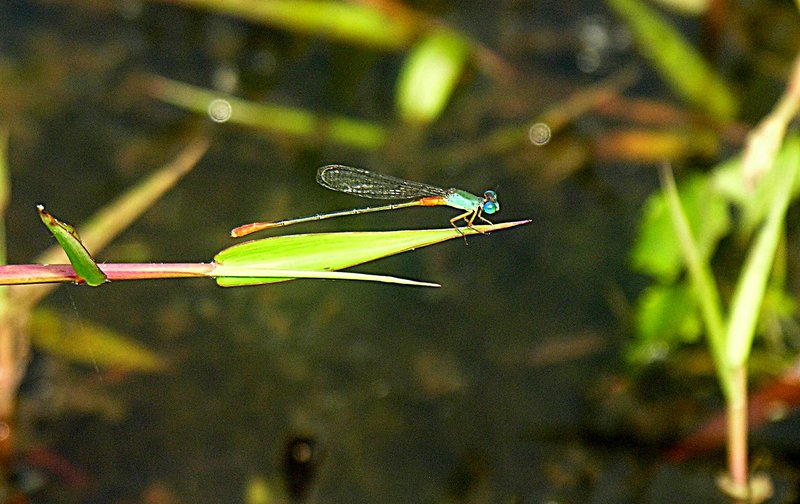 feb_19_1359_aqua_damselfly.jpg