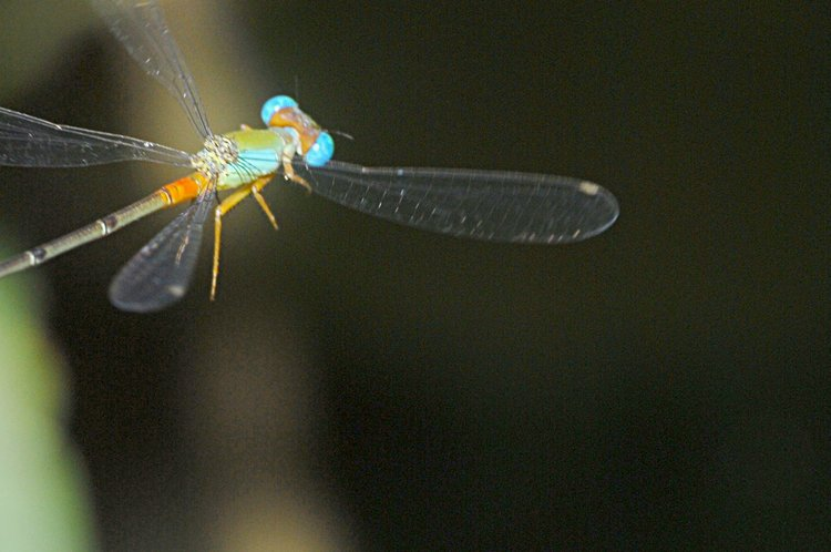 jan_01_3139_flying_dragonfly.jpg