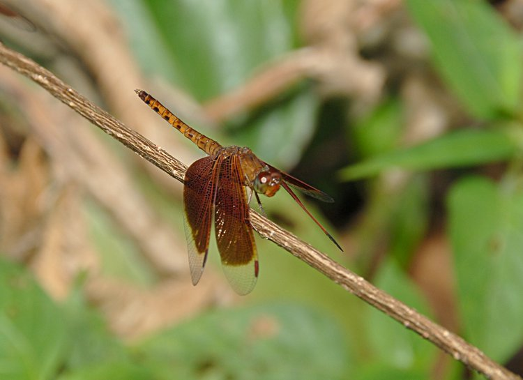 jan_01_3328_brown_dragonfly.jpg