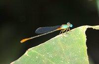 jan_01_3138_aqua_dragonfly.jpg